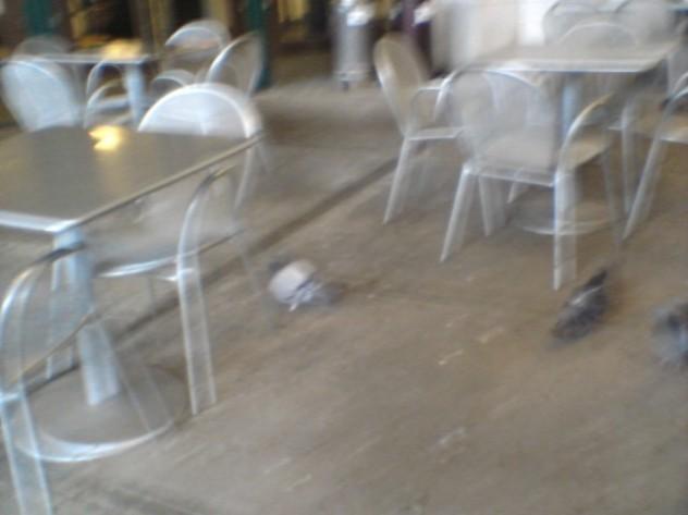dc fat pigeon